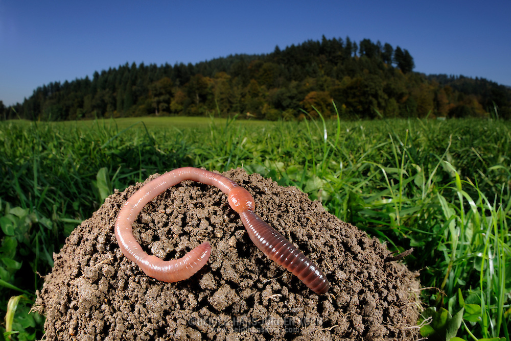 Common earthworm, nightcrawler, Lumbricus terrestris; earthworm on mounds in the meadows at the forest edge. .Gemeiner Regenwurm, Tauwurm, Lumbricus terrestris; Regenwurm auf Erdhügel in Wiese an Waldrand