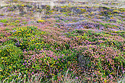 Cornish Heather