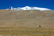 A Ladakhi riding a horse on the Changthang plateau in the Indian Himalayas in Ladakh