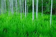 Ostrich Ferns, Matteuccia struthiopteris and Aspen, Populus species, Presque Isle County, Michigan