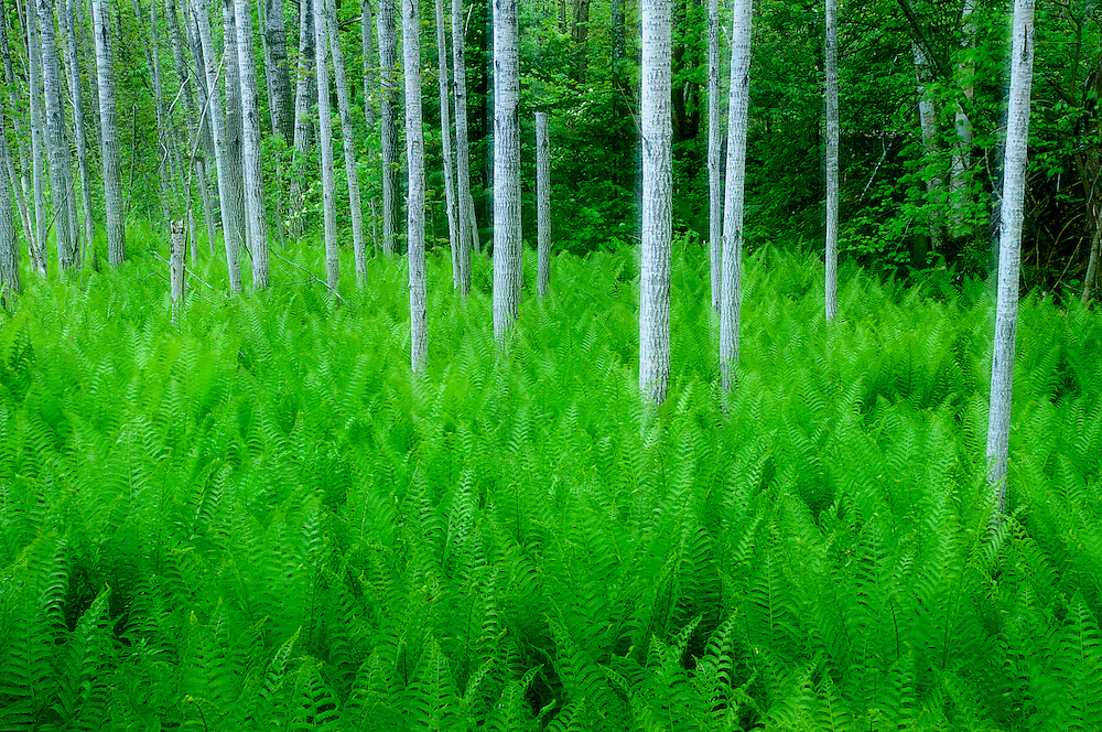 Ostrich Ferns, Matteuccia struthiopteris and Aspen, Populus species, Presque Isle County, Michigan