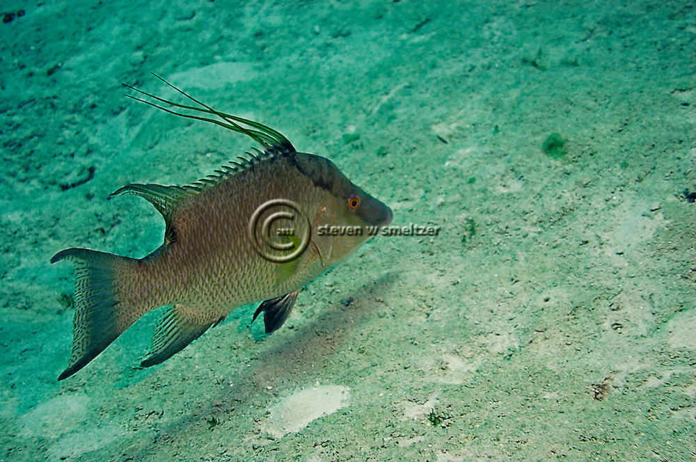 Hogfish, Intermediate, Lachnolaimus maximus, Grand Cayman
