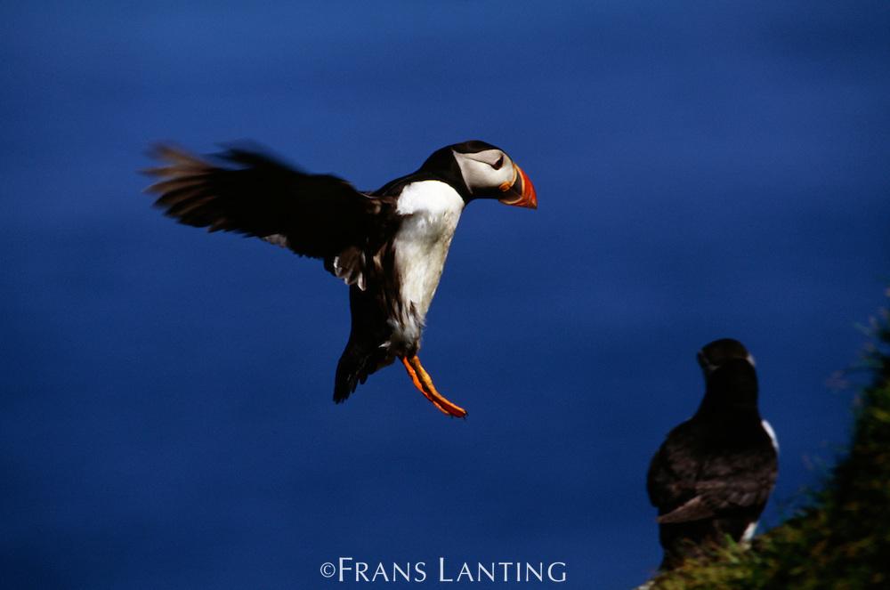 Atlantic puffin landing, Fratercula arctica, Outer Hebrides, Scotland