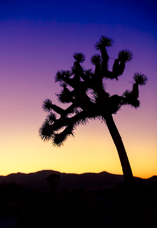 A silhouette of a singe Joshua Tree in Southern California's desert.