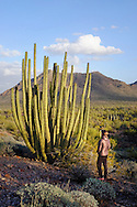 A woman stands next to an Organ Pipe cactus in the Sonoran Desert of Arizona.