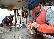 PRICE CHAMBERS / NEWS&amp;GUIDE<br /> Michael Veneziani and Heather Paddock work on a gill net boat, removing lake trout from the long nets dragged behind the small vessel as it trawls around Yellowstone Lake. The fish that are caught and killed are measured and sexed before being dumped back into deep water.