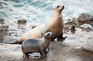 Sea Lion Pup and Mom - Sea Lions - California: The California sea lion is a coastal eared seal native to western North America. It is one of five species of sea lion. Its natural habitat ranges from southeast Alaska to central Mexico, including the Gulf of California.