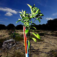 LAKE WALES, FL -- October 13, 2010 -- A 3-month-old citrus orange tree grows after replacing a diseased tree in one of grower Marty McKenna's orange groves in Lake Wales, Fla., on Wednesday, October 13, 2010.  The housing bust left orange groves - which were scooped up by investors - unattended, overgrown and full with disease.  That disease is spreading to healthy, adjacent fields - leaving citrus growers scrambling to replant lost production.  ..ORANGES