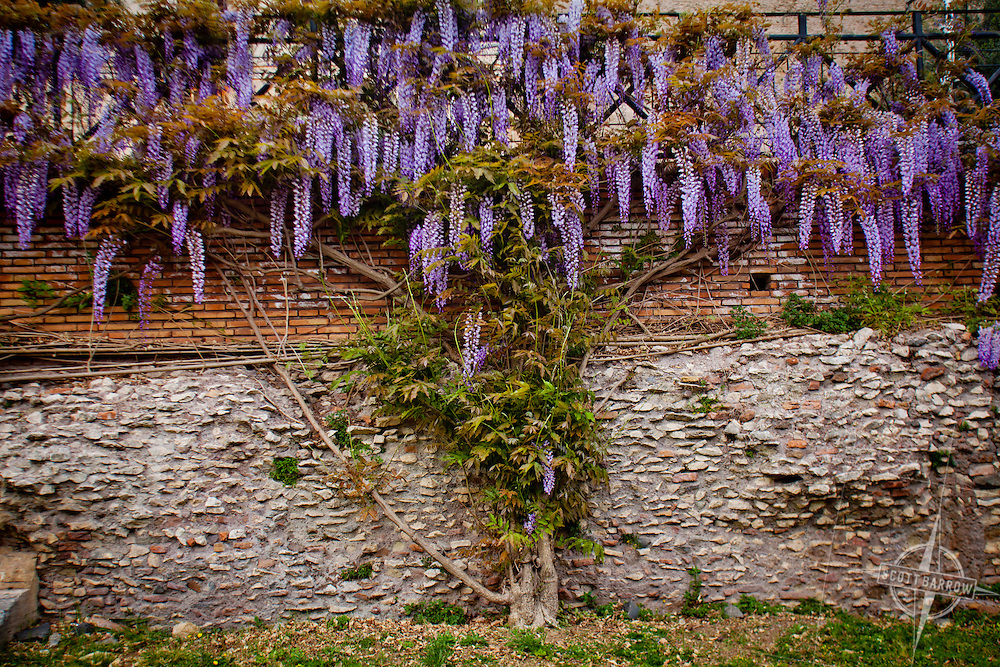 Purple wisteria by ancient wall on the Palantine Hill in Rome, Italy.