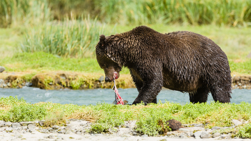 Brown bear (Ursus arctos) eating salmon along Geographic Creek at Geographic Harbor in Katmai National Park in Southwestern Alaska. Summer. Afternoon.