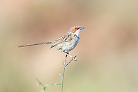 Rufous-Eared Warbler, Karoo National Park, Western Cape, South Africa