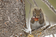 During the long Wyoming winter,  red squirrels dine on pine nuts from cones they've collected throughout the year. The squirrels then discard the cone and scales, which can be found in large piles under their favorite feeding perch.
