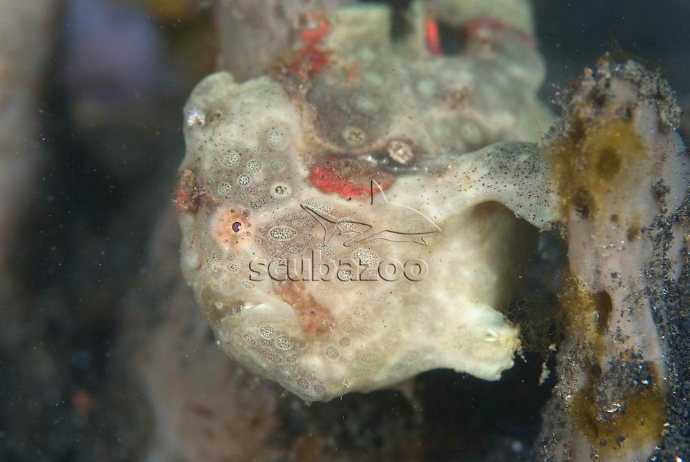 Painted Frogfish, Antennarius pictus, cream phase, KBR, Lembeh Strait, Sulawesi, Indonesia.