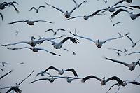 White pelicans (Pelecanus onocrotalus) and Black-headed gull (chroicocephalus ridibundus), Lake Belau, Moldova