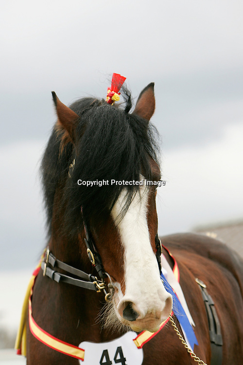 Shire Horse Society Spring Show 2012<br /> Mr L E Harrison's Cumeragh House Desperate Dan  f 2008   s Trem-Y-Wyddfa Mascot   d Cumeragh House Miss Kitty   Bred by owner<br /> Winner of the Four Year Old Stallion Class and Best Shod