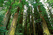 Old growth Redwoods (Sequoia sempervirens), Humboldt Redwoods State Park, California USA