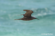 brown noddy or common noddy, Anous stolidus, in flight, East Island, French Frigate Shoals, Papahanaumokuakea Marine National Monument, Northwest Hawaiian Islands, Hawaii ( Central Pacific Ocean )