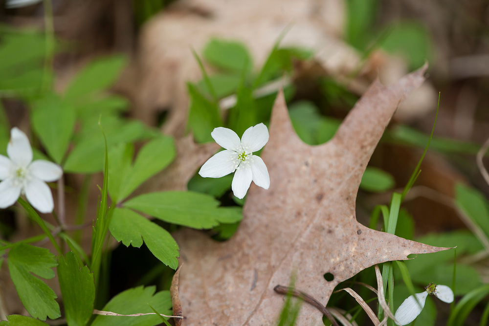 Flowering Wood Anemone (Anemone quinquefolia) in spring woodland setting.