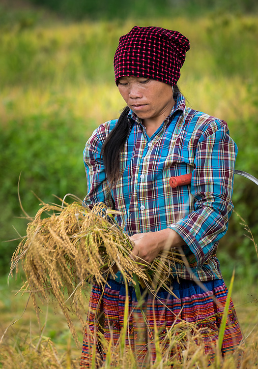 BAC HA, VIETNAM - CIRCA SEPTEMBER 2014:  Young woman harvesting rice in Vietnam.