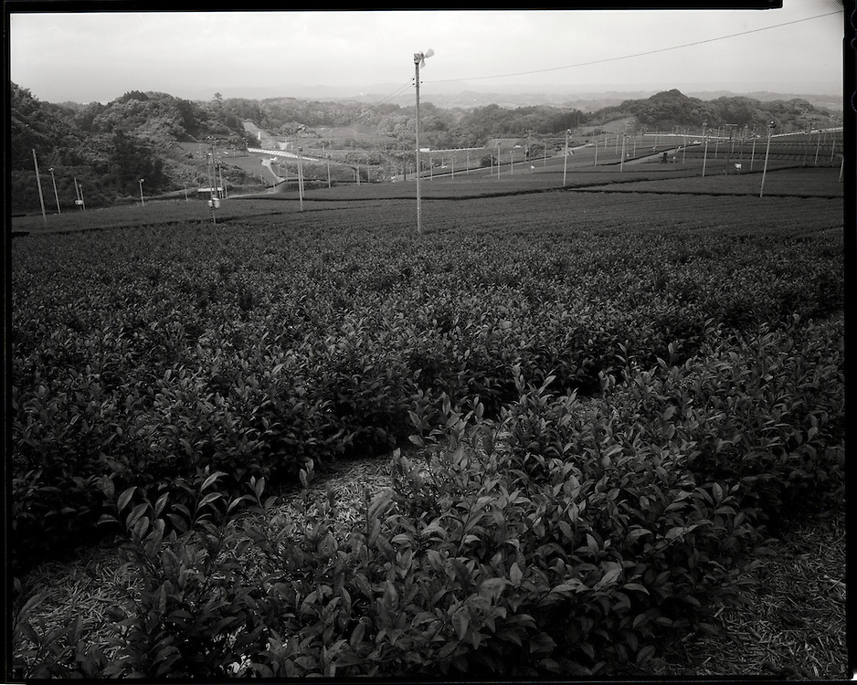 Tea Plantations near Shizuoka city <br /> Tea Leaves Harvested in May 2011 were found to contain Radioactive cesium exceeding the legal limit   made in a factory in Shizuoka City, more than 300 kilometers away from the Fukushima Daiichi nuclear power plant. Shizuoka Prefecture is one of the most famous tea producing areas in Japan.   After the accident at the Fukushima nuclear power plant, radioactive contamination of tea leaves and processed tea has been found over a wide area around Tokyo.