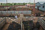 MANDAN, ND - Cows crowd pens at a cattle auction, August 9, 2017. Ranchers have been sending more calves than usual to market, and earlier in the summer, as they try to consolidate their herds and reduce feed costs and pasture stress during the drought hitting the Great Plains.