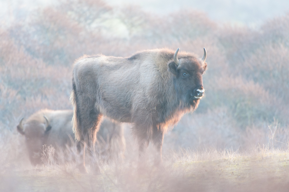 Two European Bisons (Bison bonasus) standing in dune landscape