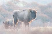 Two European Bisons (Bison bonasus) standing in dune landscape