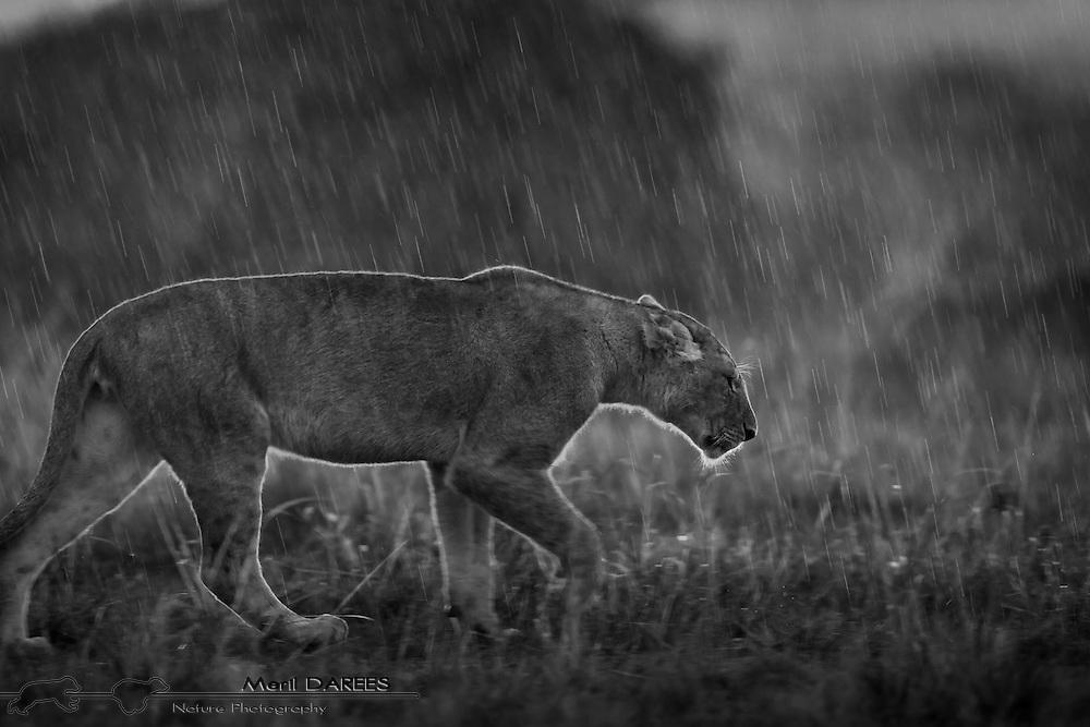 A lioness walking in the rain. Masai Mara, Kenya.