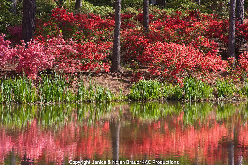 Azalea Bowl and Lake at Callaway Gardens in Pine Mountain, Georgia. Callaway Gardens, which is especially famous for its azaleas, boasts 13,000 acres of gardens and Georgia countryside, plus a conservation nature preserve, extensive education programs, and a very impressive resort as well.