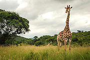 A giraffe stands tall, Hluhluwe-Imfolozi Game Reserve, KwaZulu-Natal province of South Africa.