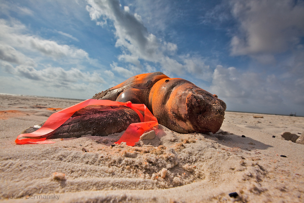 Dead Kemp's Ridley sea turtle on the beach in Pass Christian Mississippi,  painted orange by the Institute for the Marine Mammal Studies so it wont be counted a second time, left on the beach until a crew comes to remove it. <br /> An unprecedented number of dead young  Kemp's Ridley and Loggerhead  sea turtles have washed up on the shores of Mississippi along the Gulf of Mexico starting almost a year after the BP oil spill. The sea turtle species being found dead are endangered. <br /> Test are being done on the high number of turtle and dolphin corpses found on the beaches but results have not been released.