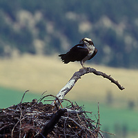 Osprey at nest. Kootenay River Valley, British Columbia.