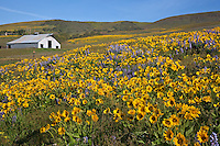 WA13118-00...WASHINGTON - Balsamroot and lupine blooming in a meadow at the Dalles Mountain Ranch, part of Columbia Hills State Park.