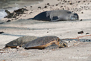 two green sea turtles, Chelonia mydas, basking on beach near a resting Hawaiian monk seal, Monachus schauinslandi ( Critically Endangered ), Pu'uhonua o Honaunau ( City of Refuge ) National Historical Park, Kona, Hawaii ( the Big Island ) Hawaiian Islands, U.S.A.
