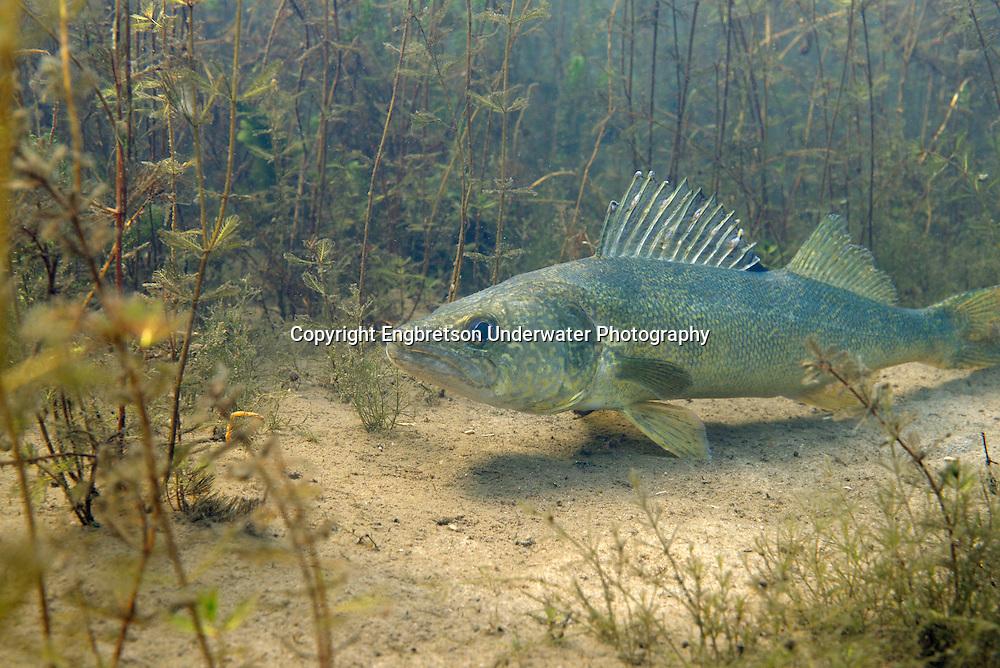 Walleye in Milfoil<br /> <br /> Engbretson Underwater Photography