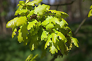 Close up of oak leaves growing on tree branch