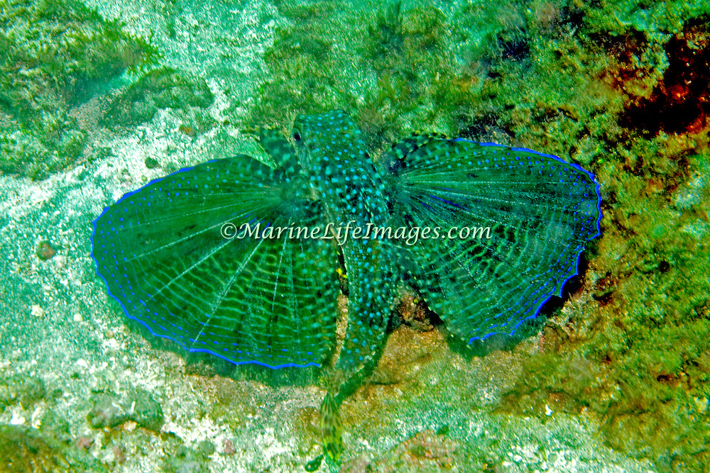 Flying Gurnard inhabit areas of sand, coral rubble and seagrasses, often near shallow patch and fringe reefs in Tropical West Atlantic; picture taken Bequia, Grenadines.