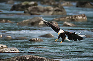 Four-year old Bald Eagle (white wing tip feathers) getting ready to land on boulder in Chilkoot River in Haines in Southeast Alaska. Winter. Afternoon.