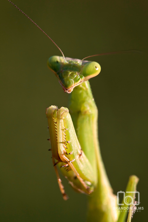 A macro shot of a praying mantis posing for the camera.