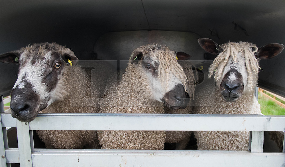© Licensed to London News Pictures. <br /> 13/08/2014. <br /> <br /> Danby, North Yorkshire, United Kingdom<br /> <br /> Sheep arrive in the back of a trailer during the Danby Agricultural Show in North Yorkshire. <br /> <br /> This year is the 154th show which was founded in 1848. It is the oldest agricultural show in the area and offers sheep dog trials, judging of a variety of different animals such as cattle, sheep, ferrets, horses and rabbits along with different classes of horticulture and dairy. <br /> <br /> Photo credit : Ian Forsyth/LNP