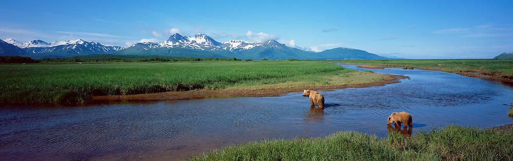 Alaskan Brown Bear (Ursus middendorffi) mother and cub crossing water in Katmai National Park, Alaska.