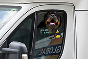 An angry Rottweiler dog barks at passers-by through a courier's open white van window, on 21st August 2018, in London, England.