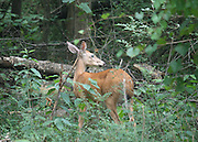 A whitetail doe stands guard while two fawns frolick in the woods of Yellow River Park, Georgia.