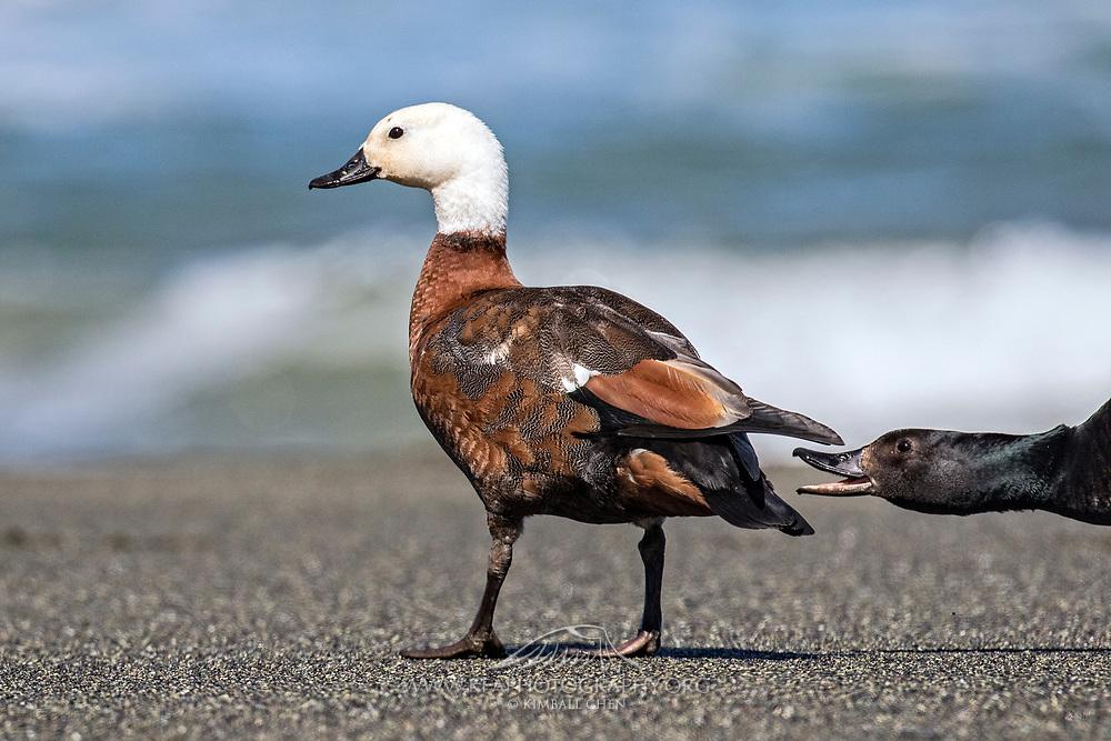 A male Paradise Shelduck honks at a female, New Zealand