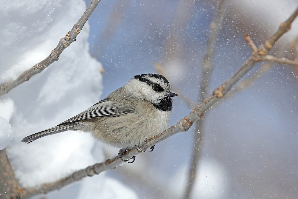 Falling snow dusts a mountain chickadee foraging for food during Wyoming's long winter.  These tiny birds often form winter feeding flocks with downy woodpeckers, nuthatches and black-capped chickadees.