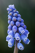Muscari armeniacum - Armenian grape hyacinth