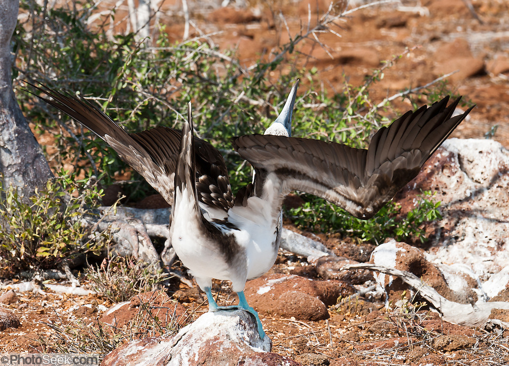 """A Blue-footed Booby (Sula nebouxii) does a sky pointing mating dance on North Seymour Island, part of the Galápagos archipelago, a province of Ecuador 972 km offshore west of the continent of South America. The Sulidae family comprises ten species of long-winged seabirds. The name """"booby"""" comes from the Spanish term bobo, which means """"stupid"""" or """"fool/clown,"""" which describes its clumsy nature on land. Like other seabirds, they can be very tame. Blue-footed Boobies breed in tropical and subtropical islands of the Pacific Ocean."""