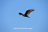 00780-00612 Turkey Vulture (Cathartes aura) in flight Marion Co.   IL