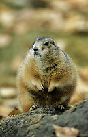 Black-tailed Prairie Dog (Cynomys Indovicianus) mother with three cubs, Muskwa-Kechika, British Columbia, Canada - Photo: Peter Llewellyn