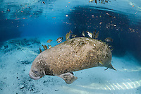 Florida manatee, Trichechus manatus latirostris, a subspecies of the West Indian manatee, endangered. A young manatee floats near a warm blue spring surrounded by fish, bream, Lepomis spp. The manatee is tolerating the fish attention as it is the price to pay for sharing the treasured warm waters. Bream target dermis and dead skin on the manatee.  Horizontal orientation with blue water and light rays. Three Sisters Springs, Crystal River National Wildlife Refuge, Kings Bay, Crystal River, Citrus County, Florida USA.